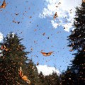 Monarchs flying at wintering site